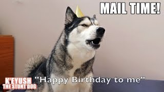 husky-wishes-himself-early-happy-birthday-and-opens-gifts-mail-time