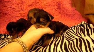 Tiny Teacup Yorkshire Terriers- Alabamatoysandteacups.com
