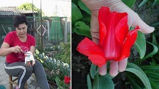 Хотите крупный бокал тюльпана   не бросайте уход за тюльпанами после цветения   Что нужно сделать