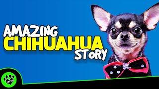 Chihuahua Dogs 101  Una historia asombrosa