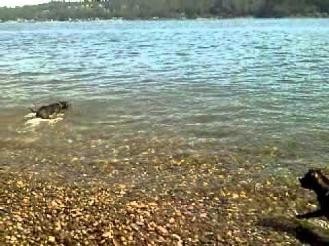 Pitbulls can swim