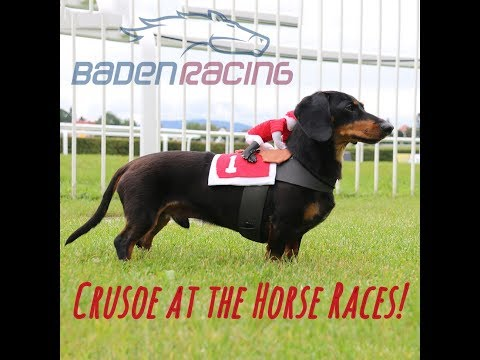 Crusoe Dachshund at the Horse Races! Baden Racing, Germany