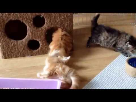 Norwegian Forest Cat kittens, 5 weeks old at play