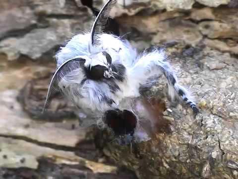 mumie de la varicoză)