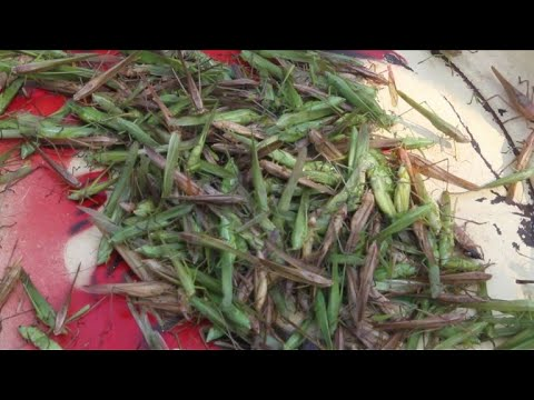 Central African Republicans serve up tasty cricket treat