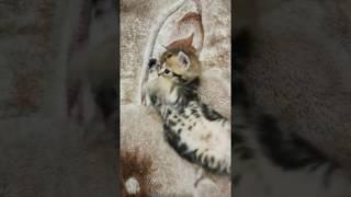 Миленький британский котенок Kristofer (Кристoфeр), окрас золотой мраморный с зелеными глазами