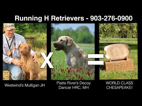 Chesapeake Bay Retrievers Puppies For Sale