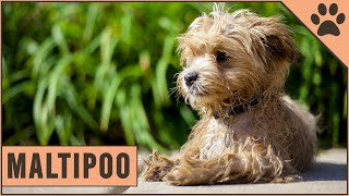 Maltipoo  Dog Breed Information
