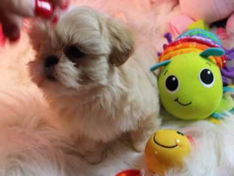 SHIH TZU PUPPIES FOR SALE, IMPERIAL SHIH TZU PUPPIES