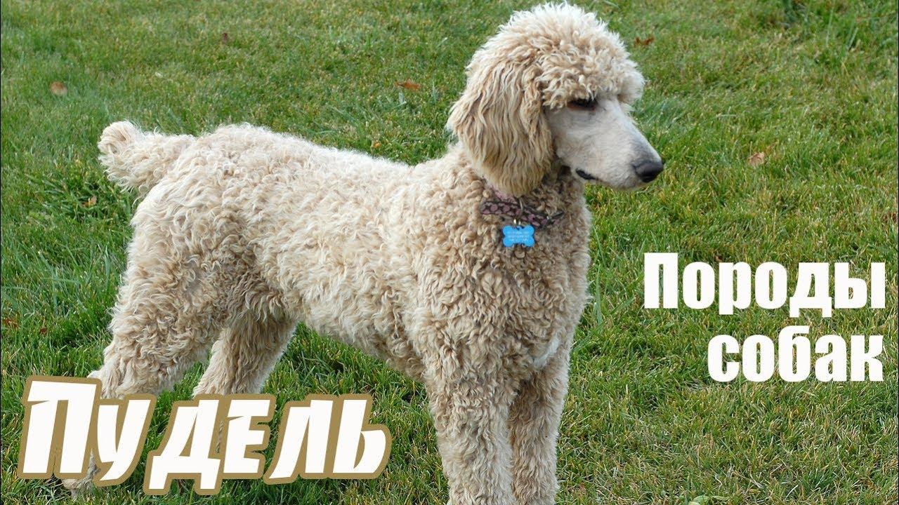 про собаку пудель