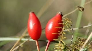 Octobre 2016, fruits et graines sauvages comestibles en Provence.