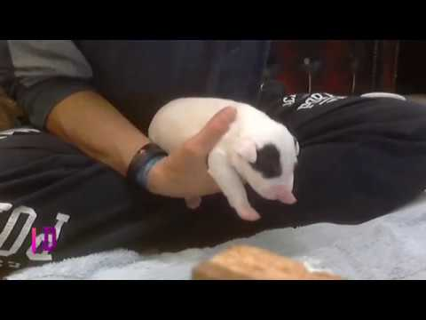 Rearing 10 Day old Miniature Bull Terriers Puppies #BullTerrier #Puppies