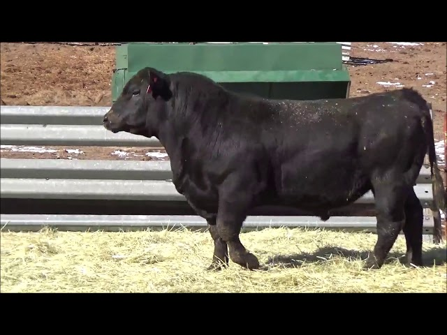 Connealy Angus Lot 522