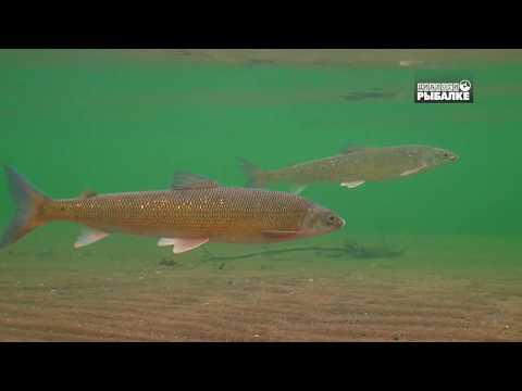РЫБЫ АМУРА. О чём молчат рыбы 94 FISHES OF THE AMUR RIVER. FISCHE DES AMUR FLUSSES.