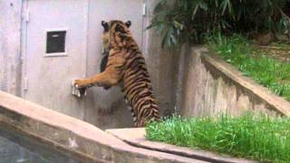 Tiger walks around spraying everything in sight.  Wants human flesh in DC.