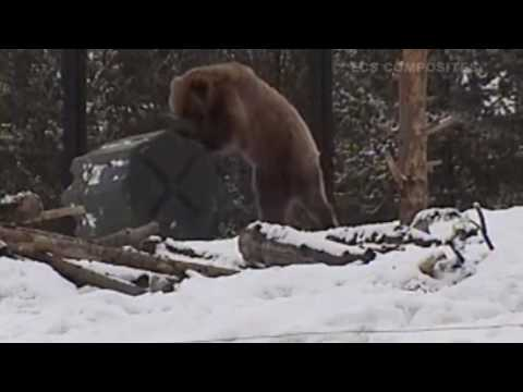 Grizzly bears attack case in West Yellowstone