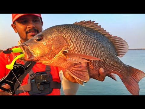 Mangrove Red Snapper fishing | Storm 360GT coastal Shad | Kerala Fishing | Tackle Tips