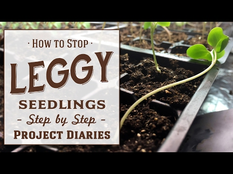 ★ How To: Stop Leggy Seedlings (Useful Tips & Step By Step Guide)