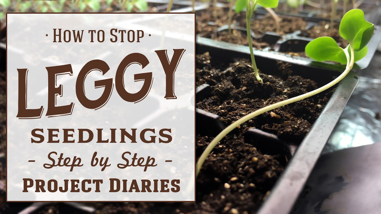 Your Step By Step Guide To The: How To: Stop Leggy Seedlings (Useful Tips & Step By Step