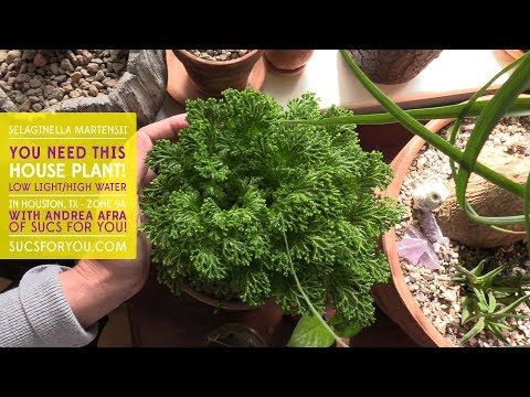 Selaginella Martensii: You Need This Low Light House Plant!