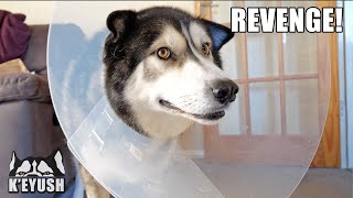 Husky is NOT Happy Wearing The CONE of SHAME!