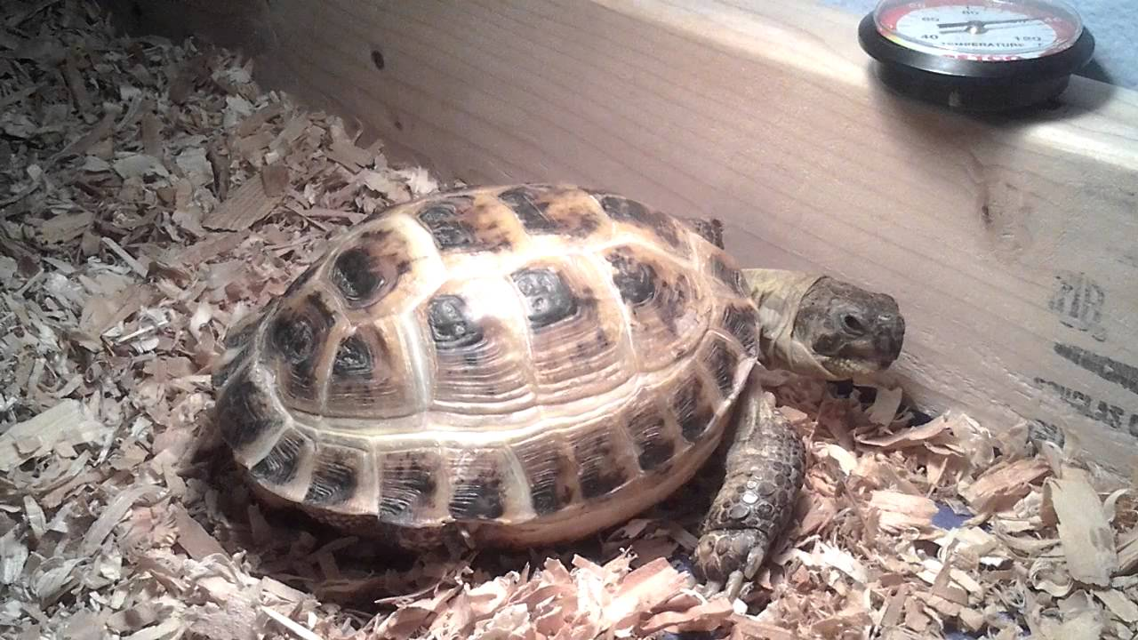 My Russian Tortoise Basking Under the Heat Lamp - YouTube
