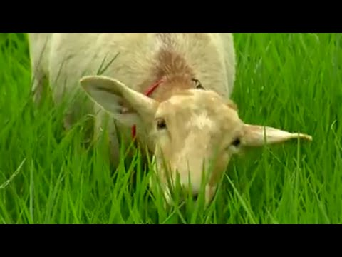 How to Efficiently Breed Lambs- Sheeps -TvAgro by Juan Gonzalo Angel