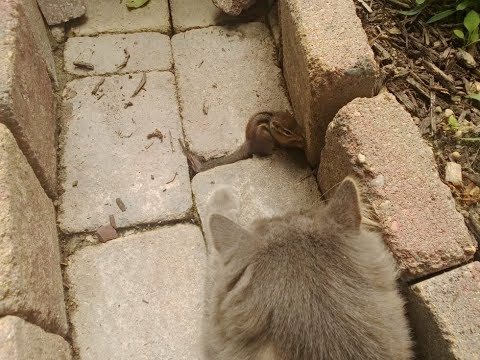Cat Met A Chipmunk In A Yard  But No One Was Prepared For What Was About To Happen!
