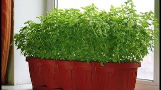 видео Выращивание петрушки в домашних условиях (рассада)