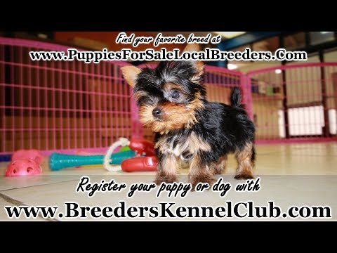Teacup Yorkie Puppies For Sale Georgia Local Breeders Near