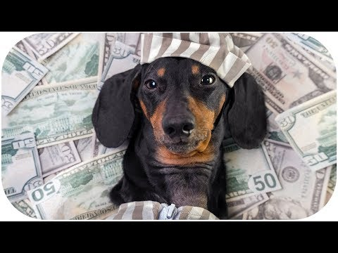 From poor to rich! Funny dachshund dog video!