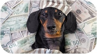 from-poor-to-rich-funny-dachshund-dog-video