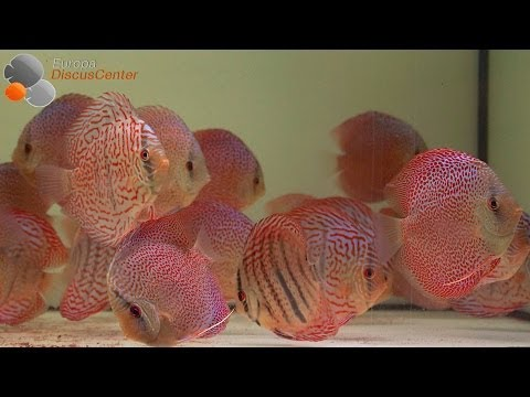 Heckel Royal Blue Diskusfische | Heckel Royal Blue Discus