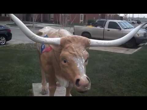 Cows of Plainview, TX