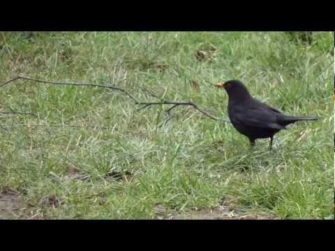 Blackbird - Koltrast - Solsort  - Svartþröstur - Fuglar - Söngfugl - Garðfugl