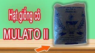 Hạt giống cỏ mulato 2 - Mulato II Grass Seed