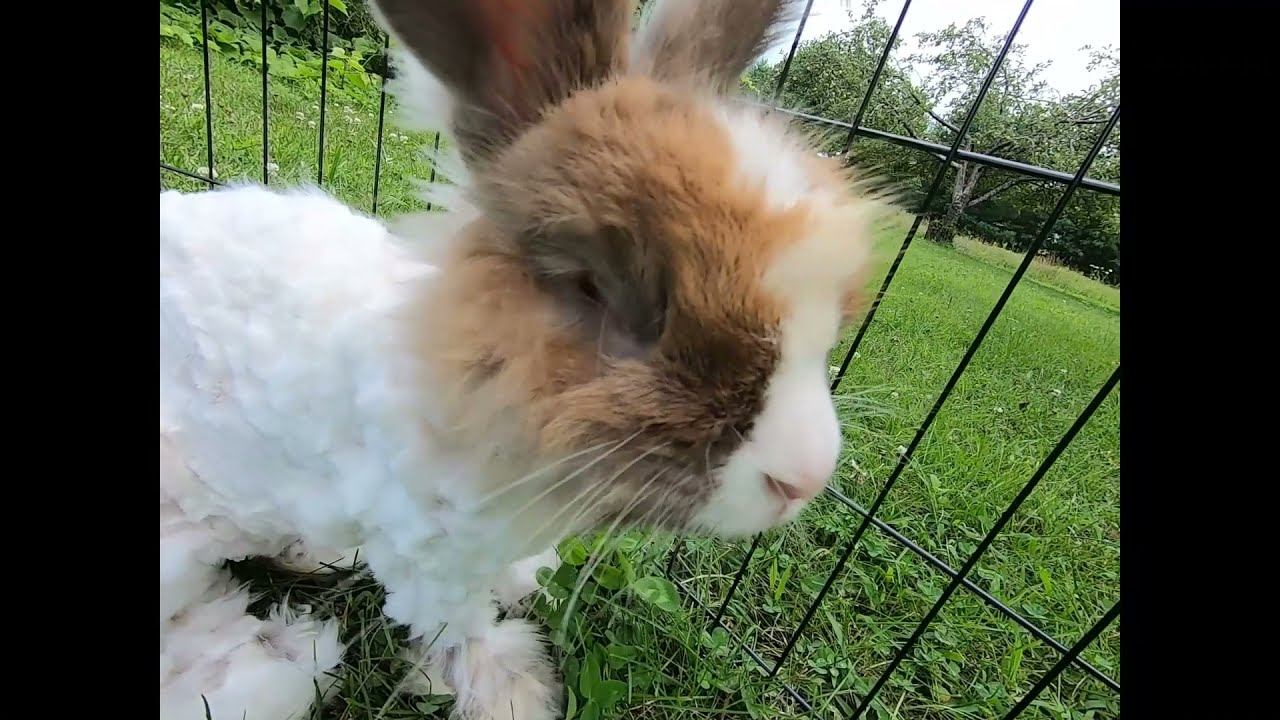 Available 100% German angora male with blue and brown eyes