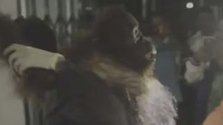 В Индонезии живодеры убили орангутана, выстрелив в него 130 раз