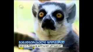 გაქცეული ცხოველები თბილისში - ნიგერიელი კენჩუ უა უგას ვეფხვის დაძინება უნდოდა არ დააძინებინეს!