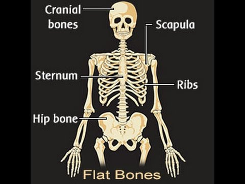 List Of All The Flat Bones In The Human Body Youtube
