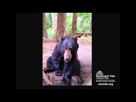 Benton the Black Bear Plays with Bubbles