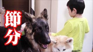 孫達が幼稚園から帰宅すると 節分ですね 秋田犬惣右介君とジャーマンシ...