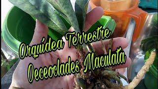 Cultivo da Orquídea Oeceoclades Maculata