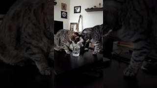 """Cats against """"Trump""""..."""