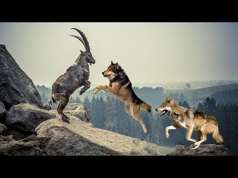 Pack Of Wolves Hunting Mountain Goat |  Mountain Goat Failed To Protect Fellow