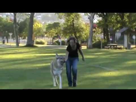 Karine Et Son Chien Loup Tch 233 Coslovaque A 239 Ko Youtube