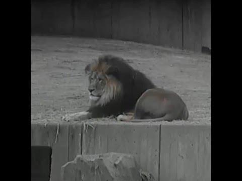 Luke the lion.              Feb 9, 2015           National Zoo
