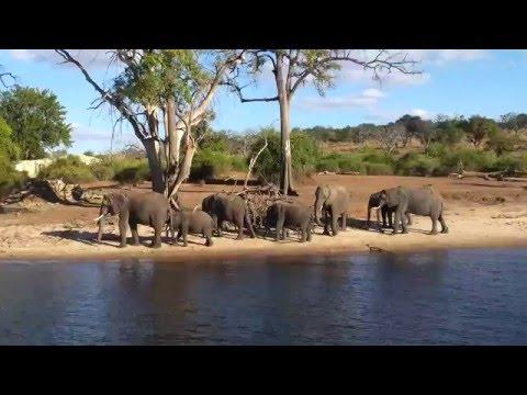 Olifanten drinken aan de Chobe rivier