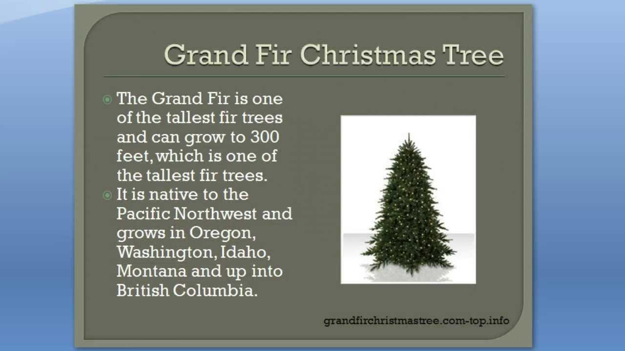 1b562b11171 Grand Fir Christmas Tree - Reasons to LOVE the Grand Fir Christmas Tree