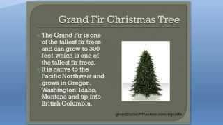 Grand Fir Christmas Tree - Reasons to LOVE the Grand Fir Christmas Tree